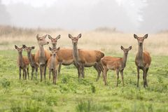 Un grande gruppo di cervi nobili Fotografia Stock Libera da Diritti