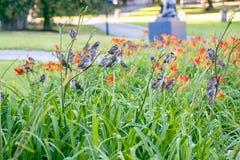 Un grande gruppo di passeri che riposano sui gigli di estate fotografia stock