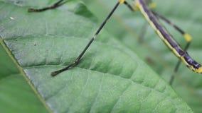 Un grande insetto di bastone dal Amazone che passa vicino su una foglia archivi video