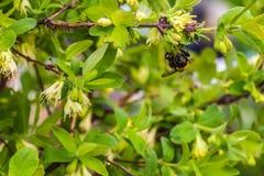 Un grande manosea la abeja con polen poliniza las flores blancas Fotos de archivo