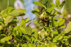 Un grande manosea la abeja con polen poliniza las flores blancas Foto de archivo