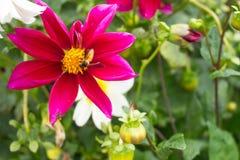un grande manosea la abeja en la flor Imagen de archivo libre de regalías