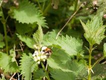 Un grande manosea la abeja para arriba cercana y en la visión aguda y quebradiza y clara Imágenes de archivo libres de regalías