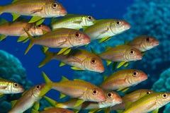 Un grande mare del banco di pesci in rosso Fotografie Stock