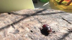 Un grande marrone può ostacolare è scaricato nella mattina soleggiata selvaggia e luminosa rizotrogo del rinforzo dello scarabeo  archivi video