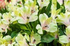 Un grande mazzo dei alstroemerias bianchi in un negozio di fiore è venduto sotto il nome di contenitore di regalo Il mercato del  Immagini Stock