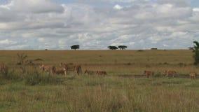 Un grande orgoglio dei leoni che si muovono nelle pianure stock footage
