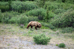 Un grande orso grigio che cerca alimento nella primavera Immagine Stock Libera da Diritti