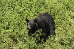 Un grande orso nero in un campo erboso Fotografia Stock Libera da Diritti