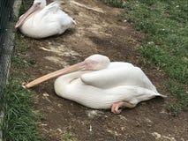 Un grande pellicano bianco si siede sulla terra e sui sonni fotografia stock libera da diritti