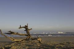 Driftwood su una spiaggia abbandonata Fotografia Stock