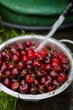 Un grande piatto delle ciliege fresche Un nuovo raccolto delle ciliege con le gocce di acqua Foto nel giardino Fotografia Stock Libera da Diritti
