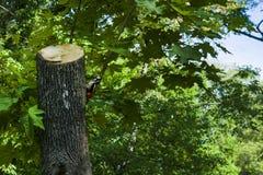 Un grande picchio macchiato si siede su un albero fotografia stock