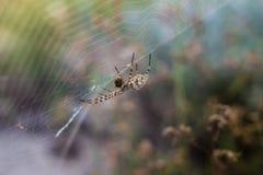 Un grande ragno su un web sottile e sulla sua vittima Immagine Stock
