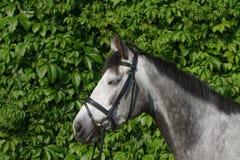 Un grande ritratto di un cavallo fotografie stock libere da diritti