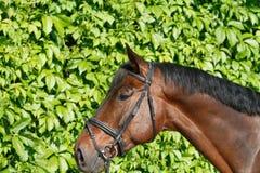 Un grande ritratto di un cavallo immagine stock