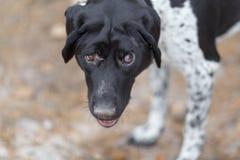 Un grande ritratto di un puntatore cieco della razza del cane fotografie stock libere da diritti
