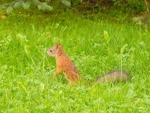 Un grande scoiattolo curioso sta camminando in fienarola dei prati fotografia stock libera da diritti
