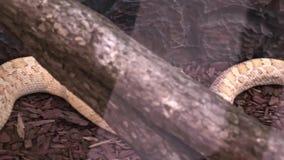 Un grande serpente pericoloso lungo in terrario che si trova ancora, vista panoramica archivi video