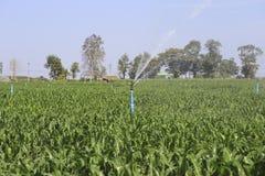 Un grande spruzzatore di agricoltura che bagna un campo di grano recentemente coltivare Fotografia Stock Libera da Diritti