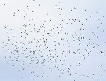 Un grande stormo degli uccelli neri, corvi che circondano su in SK blu Fotografia Stock Libera da Diritti