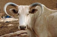 Un grande toro curvo dell'Africano del corno Fotografia Stock Libera da Diritti