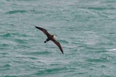 Un grande uccello marino di Shearwater, gravis di Ardenna Fotografia Stock