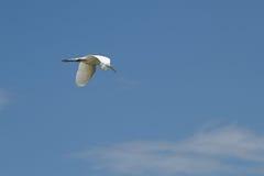 Un grande volo dell'egretta Immagini Stock Libere da Diritti