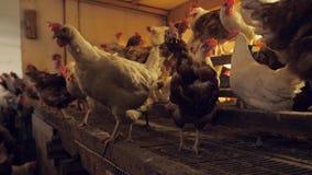 Un granero con muchos pollo almacen de metraje de vídeo