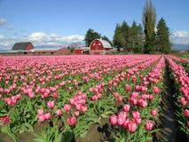 Un granero del tulipán Imágenes de archivo libres de regalías