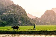 Un granjero camina su vaca a través de un campo del arroz y las montañas de Vietnam septentrional imagen de archivo libre de regalías