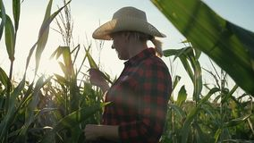 Un granjero de sexo femenino con una tableta en sus manos en un campo de maíz El granjero examina el maíz y registra los resultad metrajes