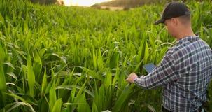Un granjero del hombre con una tableta examina la cosecha del maíz en el campo de la luz del sol en la lente almacen de metraje de vídeo