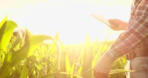 Un granjero en su campo de maíz examina sus cosechas con una tableta digital en la puesta del sol almacen de video