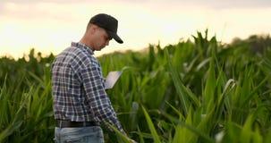Un granjero en su campo de maíz examina sus cosechas con una tableta digital en la puesta del sol metrajes