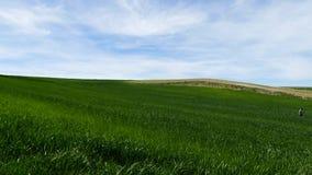 Un granjero está comprobando el campo, cultivando el campo del trigo, del granjero y de trigo, almacen de metraje de vídeo