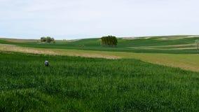 Un granjero est? comprobando el campo, cultivando el campo del trigo, del granjero y de trigo, almacen de metraje de vídeo
