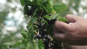 A un granjero lo cosecha de la grosella negra recoge pasas jugosas maduras negras en el jardín, una baya dulce grande de la pasa almacen de video
