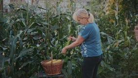 Un granjero, mujer en un campo de maíz, cosechando cosecha, limpia los jefes de cáscaras y las deja y pone en una cesta almacen de metraje de vídeo