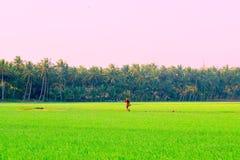 Un granjero que camina en un campo del arroz de la India foto de archivo