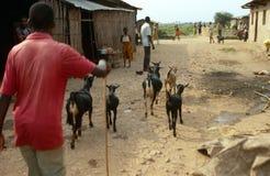 Un granjero que reúne cabras en Rwanda. Fotos de archivo libres de regalías