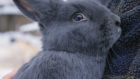 Un granjero sostiene un conejo azul vienés grande en manos, primer almacen de metraje de vídeo