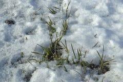 Un grano coltiva sotto le nevi sul campo l'erba dell'inverno della pianta l'inverno Fotografie Stock