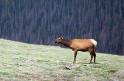 Un gregge degli alci che pascono su un prato alpino a Rocky Mountain National Park in Colorado immagini stock