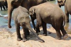 Un gregge degli elefanti è venuto al posto di innaffiatura Un gregge degli elefanti è venuto al posto di innaffiatura Immagini Stock Libere da Diritti