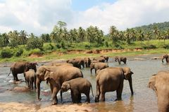 Un gregge degli elefanti è venuto al posto di innaffiatura Un gregge degli elefanti è venuto al posto di innaffiatura Fotografia Stock Libera da Diritti