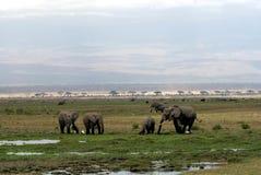 Un gregge degli elefanti Fotografie Stock