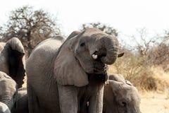 Un gregge degli elefanti africani che bevono ad un waterhole fangoso Immagini Stock