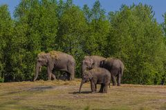 un gregge degli elefanti asiatici con un giovane vitello immagine stock libera da diritti