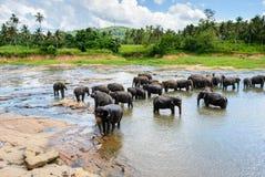 Un gregge degli elefanti che bagnano in un lago in Pinnawala immagine stock libera da diritti